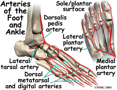 Arteries Entering the Foot