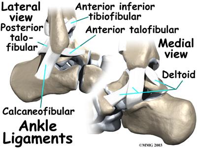 Three Main Ligaments