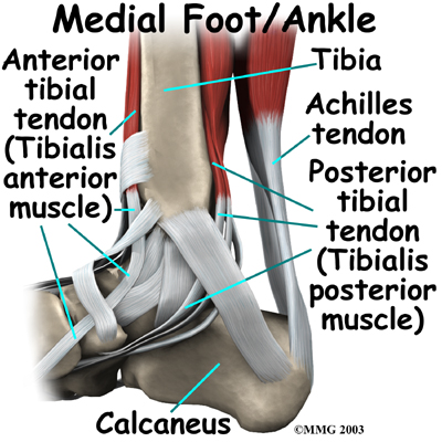 Ankle Anatomy - Be In Motion Physiotherapy